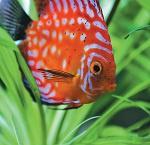 Jautājums Ihtiologam: Vēlētos iegādāties zivis diskusus? Vai manā akvārijā pietiks vieta?